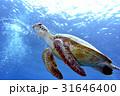海亀 沖縄の海 31646400