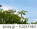 ネムの木 花 31647462