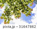 新緑 若葉 葉の写真 31647862