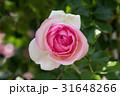 ピンク色と白色の混色のバラ 31648266