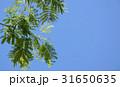 新緑の葉 tender green 31650635