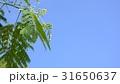 新緑の葉 tender green 31650637