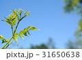 新緑 tender green 31650638