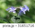 シチダンカ 31651716