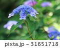ヤマアジサイ藍姫 31651718