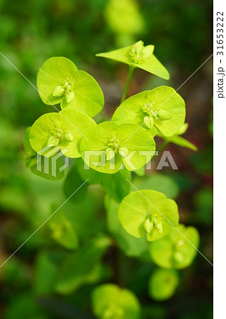 ユニークな花姿ユーフォルビア 31653222