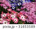 花屋さんの店先き(サイネリア) 31653589