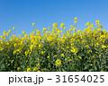 春 菜の花 花の写真 31654025