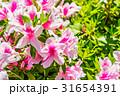ツツジ 躑躅 花の写真 31654391