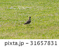 春 鳥 野鳥の写真 31657831