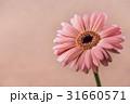 ガーベラ、花。 31660571