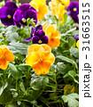 パンジー お花 フラワーの写真 31663515
