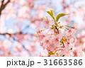 花 サクランボ チェリーの写真 31663586