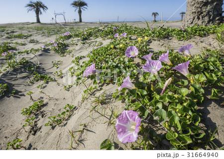 ハマヒルガオが咲く朝の九十九里浜本須賀海岸 31664940