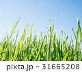背景 グリーン 緑の写真 31665208