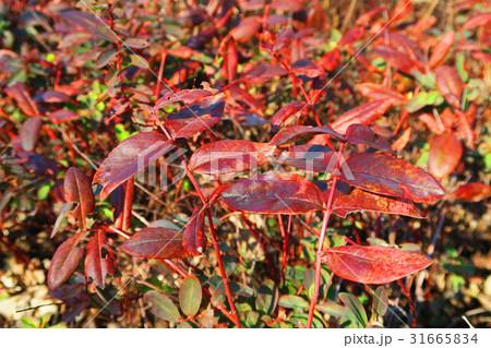 ヒペリカム・カリシナムの葉の秋の紅葉の様子 31665834