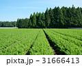 にんじん畑 31666413