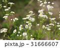 ハルジオン 花 植物の写真 31666607