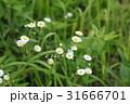 ハルジオン 春紫苑 花の写真 31666701
