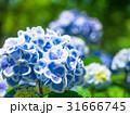 紫陽花 ロッジ舞洲 6月の写真 31666745