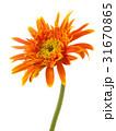 single gerbera  flower yellow isolated 31670865
