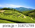 茶畑 茶園 新緑の写真 31671799