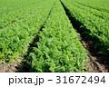 にんじん畑 31672494