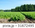 にんじん畑 31672495