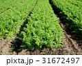 にんじん畑 31672497