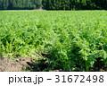 にんじん畑 31672498