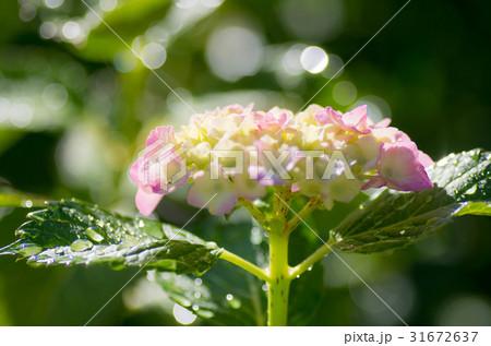 紫陽花に露 31672637