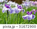 ハナショウブ 花菖蒲 花の写真 31672900