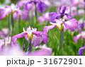 ハナショウブ 花菖蒲 花の写真 31672901