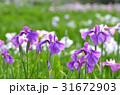 ハナショウブ 花菖蒲 花の写真 31672903
