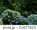 あじさい アジサイ 紫陽花の写真 31677625