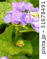 紫陽花 花 アジサイの写真 31678491