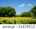 万博記念公園のひまわりと青空 31678513