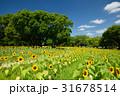 万博記念公園のひまわりと青空 31678514