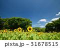 万博記念公園のひまわりと青空 31678515
