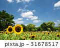 万博記念公園のひまわりと青空 31678517
