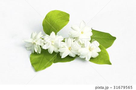 White jasmine flowers fresh flowers 31679565