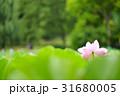 万博記念公園の雨に打たれる蓮 31680005