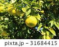 柚子 果実 フルーツの写真 31684415
