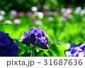 紫陽花 花 植物の写真 31687636