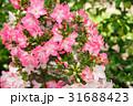 皐月 盆栽 花の写真 31688423