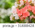 皐月 盆栽 花の写真 31688428