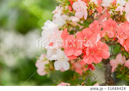 サツキ 盆栽 31688428