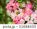 皐月 盆栽 花の写真 31688430