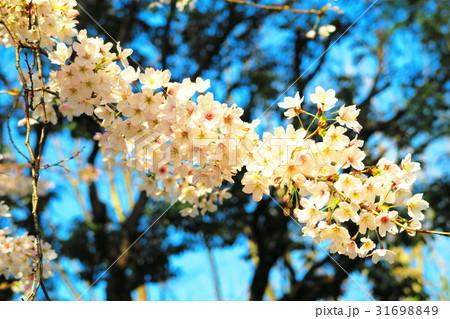 埼玉県川口市の青木町公園総合運動場の桜のある風景 31698849