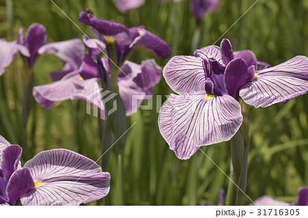 葵の上(花菖蒲の品種) 31716305